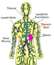 lymph1