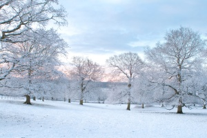 Oak Trees In the Snow at Dawn