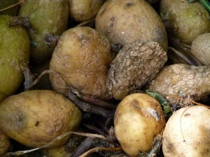 rotting-potatoes-