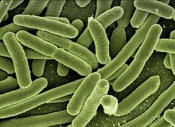 koli-bacteria-123081__180