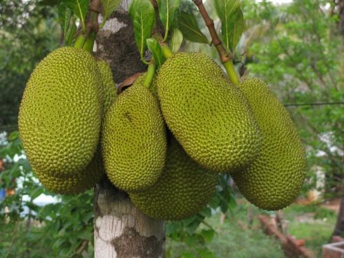 jackfruit-452532_1920