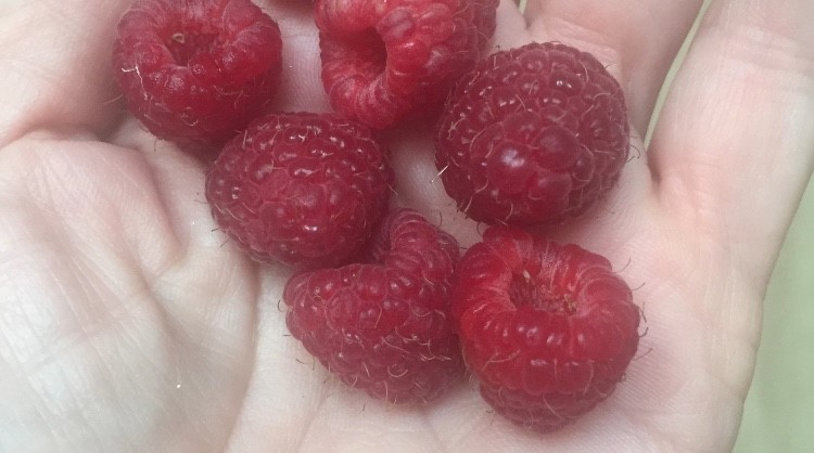 This image has an empty alt attribute; its file name is raspberries-in-hand.jpg