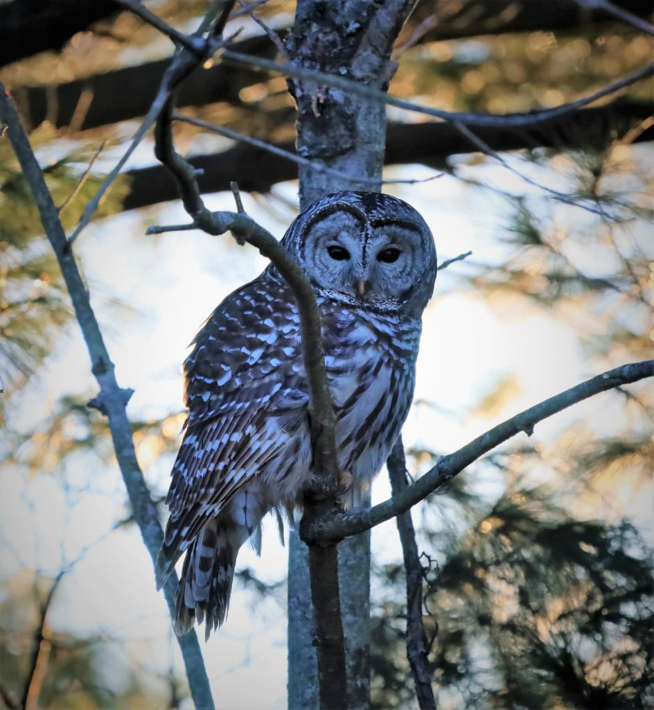 Picture of a Barred Owl by Laura Stanton.