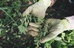 gardening gloves weeding a garden